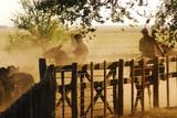 Trabajos con Hacienda Angus en los corrales, buenos Aires, Argentina