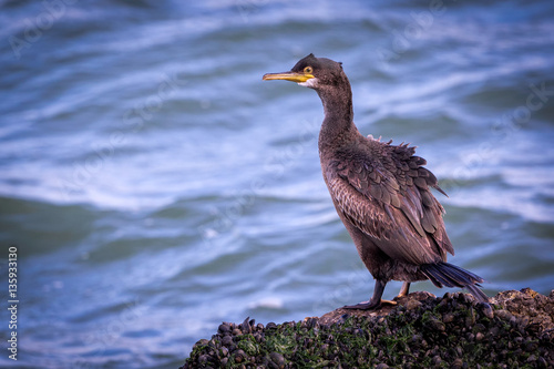 Papiers peints Nature European Shag