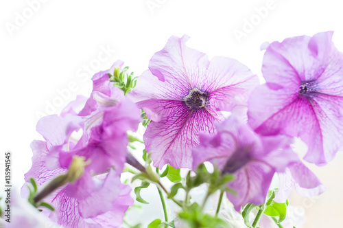 Foto op Canvas Lilac Colored petunia flowers in the garden