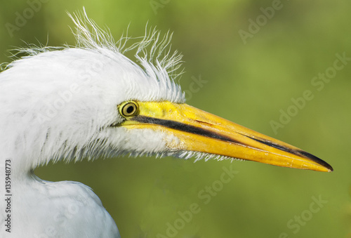 Poster Portrait of Egret in Florida.