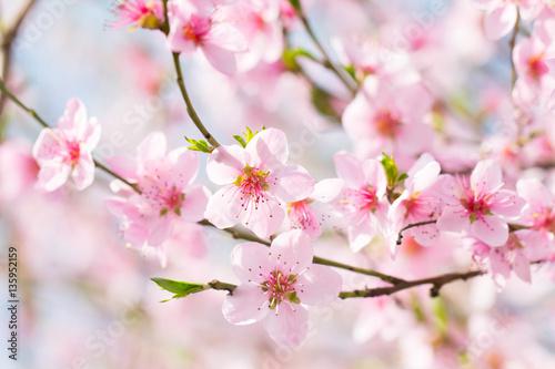 Zdjęcia na płótnie, fototapety na wymiar, obrazy na ścianę : Beautiful spring background, flower blossom on a soft sun light