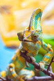 The colorful Chameleon runs slowly on a branch I