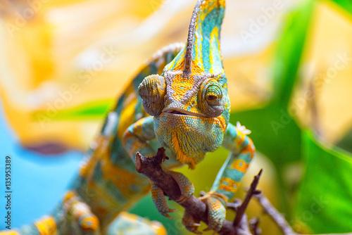 Kolorowy kameleon biegnie powoli na gałęzi