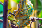 The colorful Chameleon runs slowly on a branch III