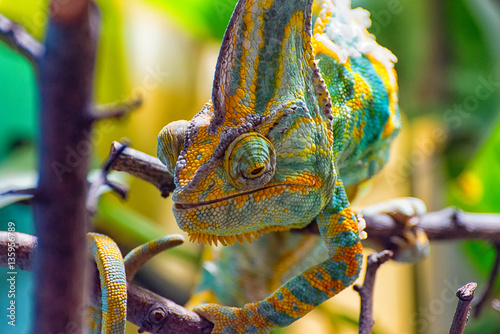 Fotobehang Kameleon The colorful Chameleon runs slowly on a branch III