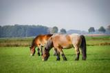 Pferderassen - zwei Brabanter Pferde auf der Weide