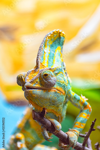 Aluminium Kameleon The colorful Chameleon runs slowly on a branch II