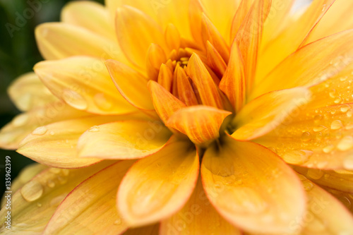 Water Droplets on Dahlia Petals