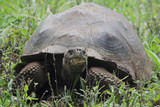 Galapagos Tortoise In The Grass