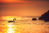 White swan in the sea with blue dark background on the sunrise.