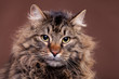 Big Maine Coon breed cat