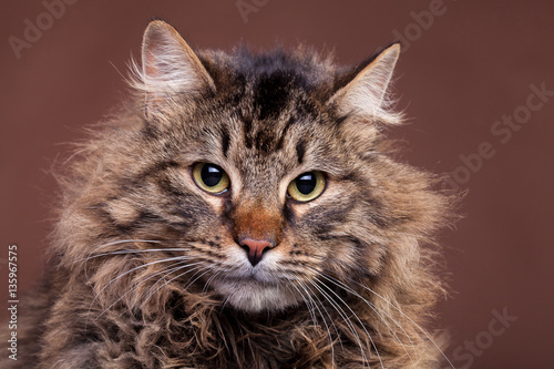 Poster Big Maine Coon breed cat