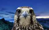 Eagle portrait on the blue background