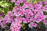 Blooming pink spring azaleas.