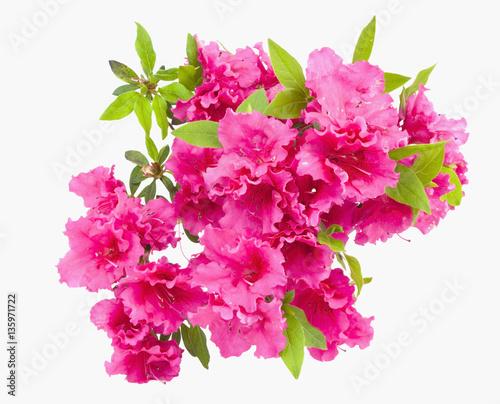 Canvas Azalea Isolated pink spring azalea