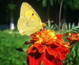 Yellow butterfly on there flower tagete