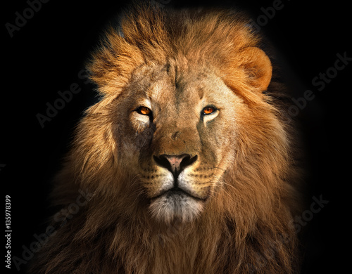 Lion king isolated on black Poster