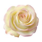 Реалистичная кремовая роза, бутон - 135981909
