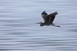 Blue Heron Saskatchewan