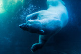 Polar Bear Diving - 136004737