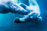 Polar Bears Underwater