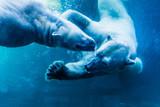 Polar Bears Underwater - 136004752