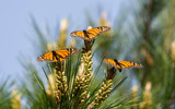 Monarch Butterflies Perched on Monterey Cypress Tree. Monarch Butterfly Sanctuary, Pacific Grove, California, USA. - 136006775