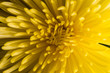 Yellow petals background. Macro shot with shallow depth of field.