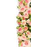 Pink blooming fresh roses with buds border isolated on white background