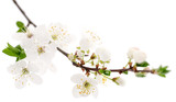 Cherry flowers on white. - 136016909