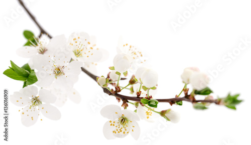 Fotobehang Kersen Cherry flowers on white.