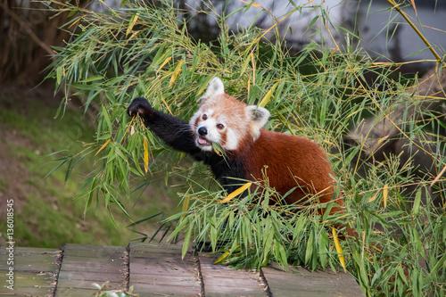 Panda roux en train de manger