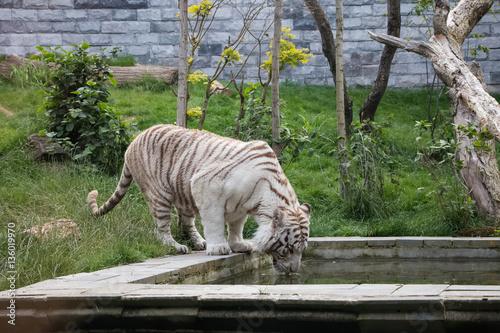Poster Tigre blanc en train de boire