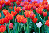coloful tulip flower background
