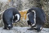 Praia de pinguins em cape town