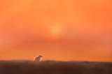 A tiny Least Tern chick sits on an open sandy beach alone as the sun rises behind it with a bright orange sky.