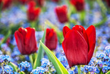 Red tulips and forget-me-not flowers