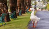 White swan, walking on the street.