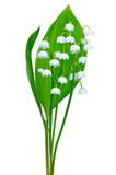 Convallaria majalis flower