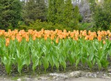 flowerbed filled with orange Tulips