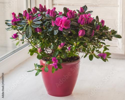 Fotobehang Azalea Pink azalea in a red pot