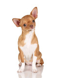 Beautiful red chihuahua dog on white background