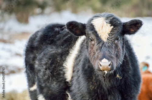 Poster Closeup of black and white jersey cow eating during a snowy winter