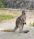 Image of a kangaroo on nature background. Wild Animals.
