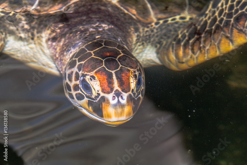 Poster hawksbill sea turtle  Sea turtles live in the Andaman Sea