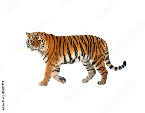 Fotobehang Tijger Siberian tiger (P. t. altaica), also known as Amur tiger