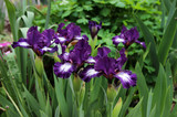 The colorful irises in spring garden.