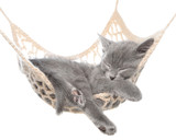 Cute gray kitten sleeping in hammock - 136176361