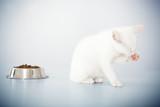 Cute wite kitten