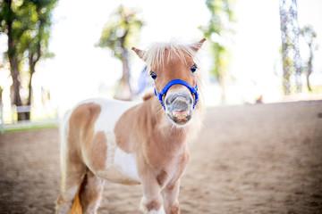 Shetland pony smile face